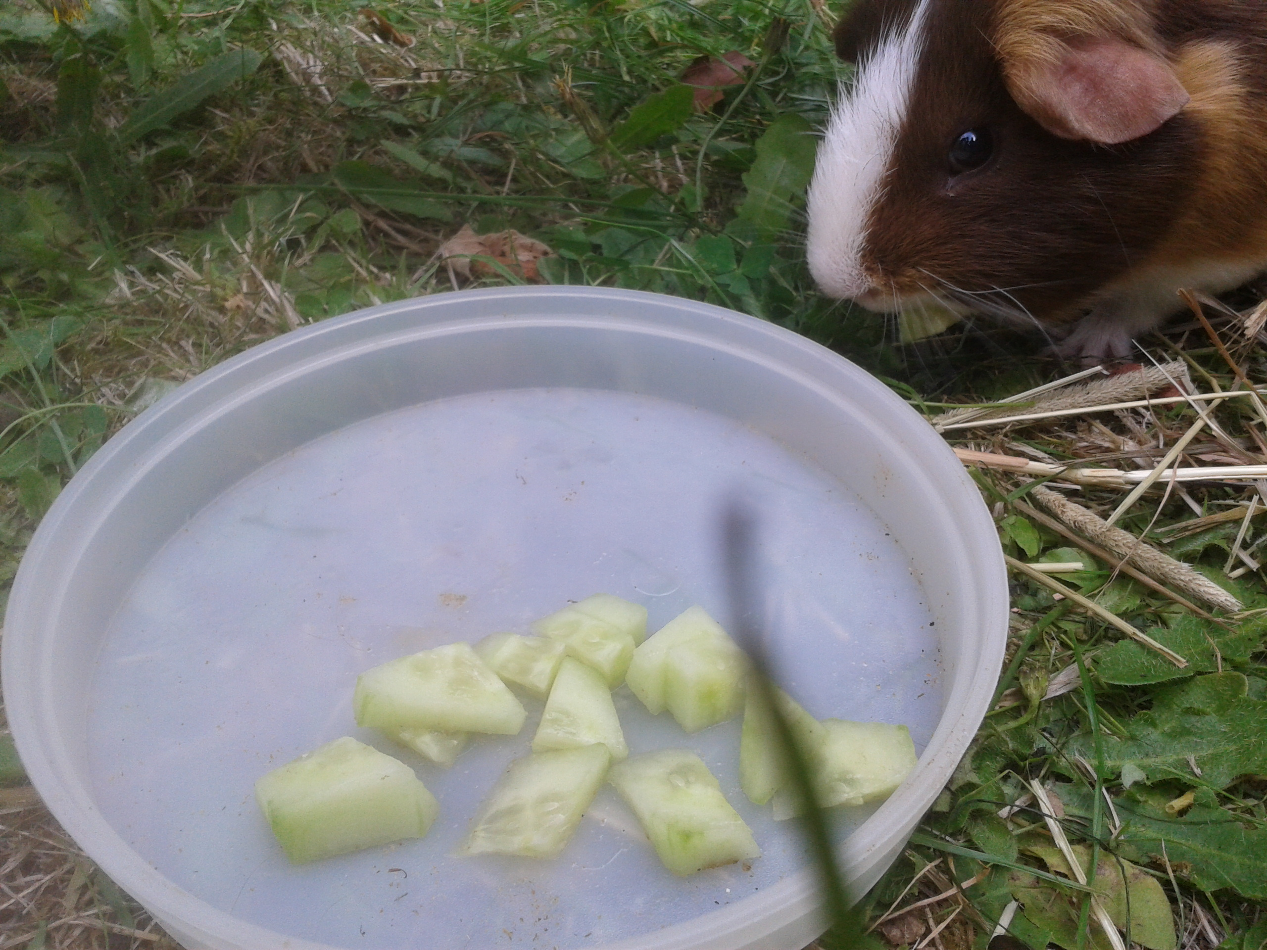 can guinea pigs eat cucumber