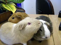 can guinea pigs eat each other