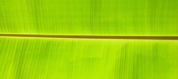 can guinea pigs eat banana leaf